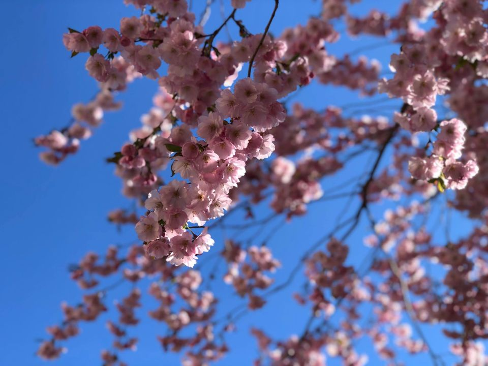 Kirsikkapuu, Anu Pellas.jpg